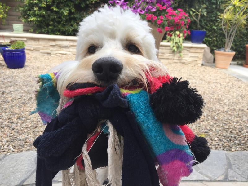 Goldendoodle Hugs - Home - Southern California goldendoodles